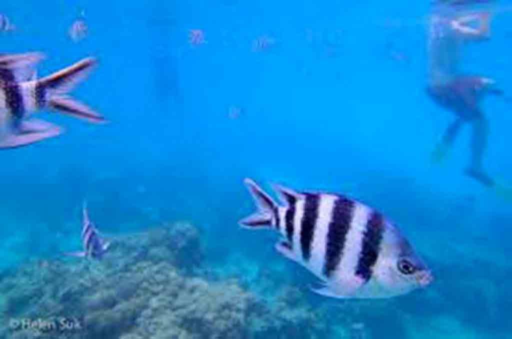 Zvedavé pásikavé ryby. Zdroj: internet