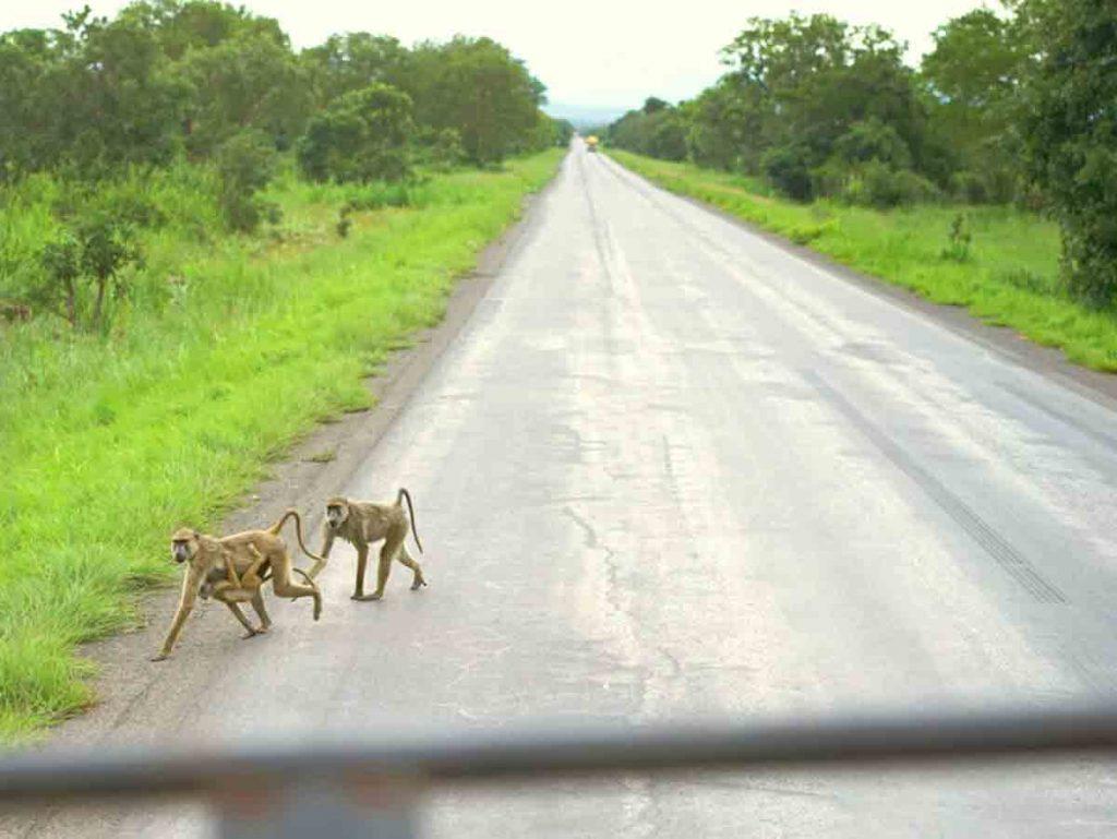 Prvé zvieratá, ktoré sme v národnom parku uvideli, boli paviány. Prebehli po ceste popred naše auto.