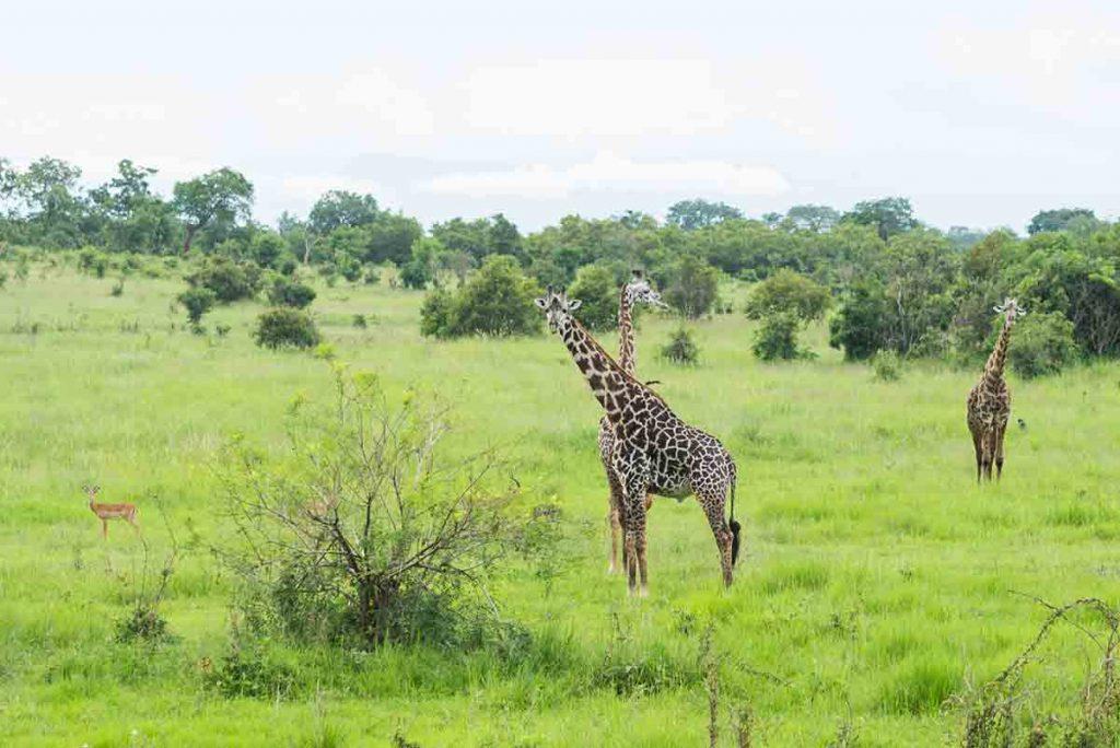 Žirafa kráča skutočne harmonicky. Je to krásne elegantné zviera, asi preto si ju Tanzánčania zvolili za ich národný symbol.