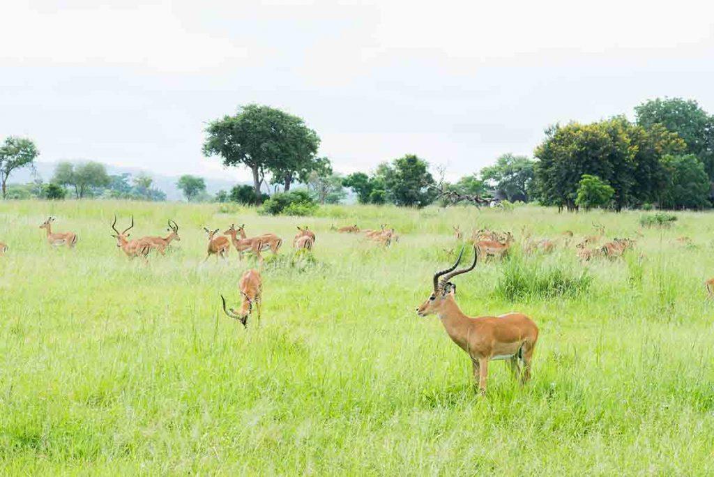 Antilopy žijú v háremoch. Mladé samce skupinu opúšťajú, dominantný zostáva len jeden dospelý samec.